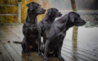 vadász kutyák